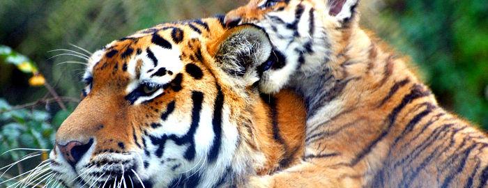 Tiger, Tigerstreifen