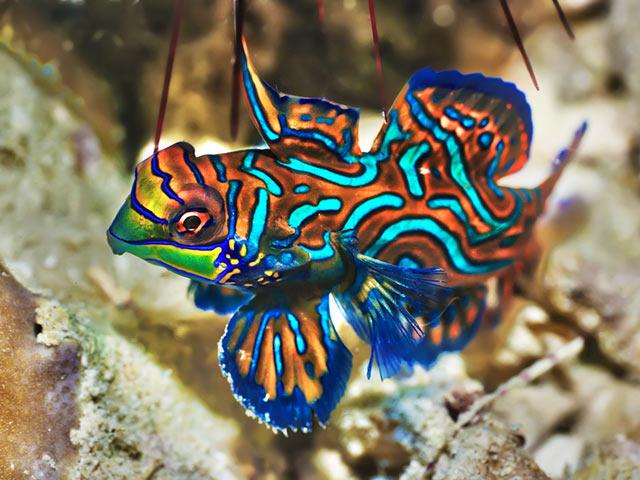 4. Mandarinfisch